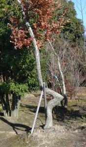 エガちゃんの木(コナラ)